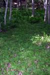 Cape Breton Maples