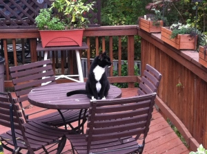 Karma, sweet kitty hanging on the neighbors deck.