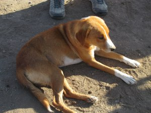 Simba the dog. Dogs are used by the Masai as guards to warn of carnivores.