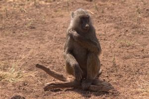 baboon hanging out