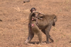 baby baboon and mama