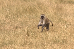 blue monkey at lake manyara