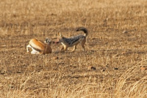 Jackal has some breakfast--a poor gazelle.