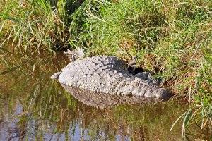 Fat croc digesting a zebra.