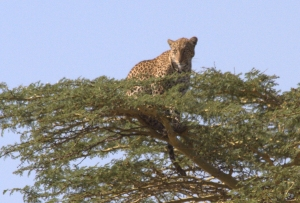 Mr. leopard high atop an acacia.