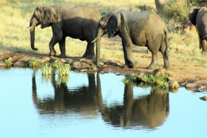 Elephants at the watering hole right before sunset cast wonderful shadows.