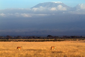 lions roaming Amboseli Park with Mount Kilimanjaro in the background