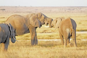 These two male elephants are fighting for supremacy.