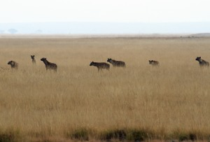 The hyenas wait there turn (or for enough of them to attack) at a chance at the lion's breakfast.