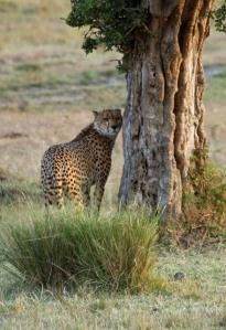 cheetah 8x12