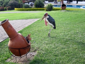 marabou stork. Scary looking guys who hung around the hotel grounds.
