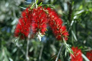 bottle brush flower