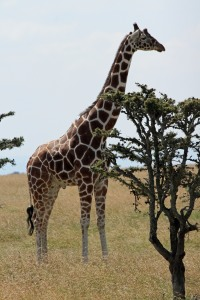 A reticulated giraffe.