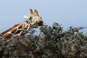 Giraffe eating the acacia tree.