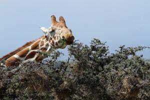 Giraffe eating the acacia tree.